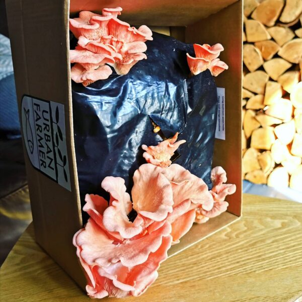 pink mushroom kit growing out of a box for valentines