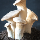 Oyster mushrooms growing out of the ground