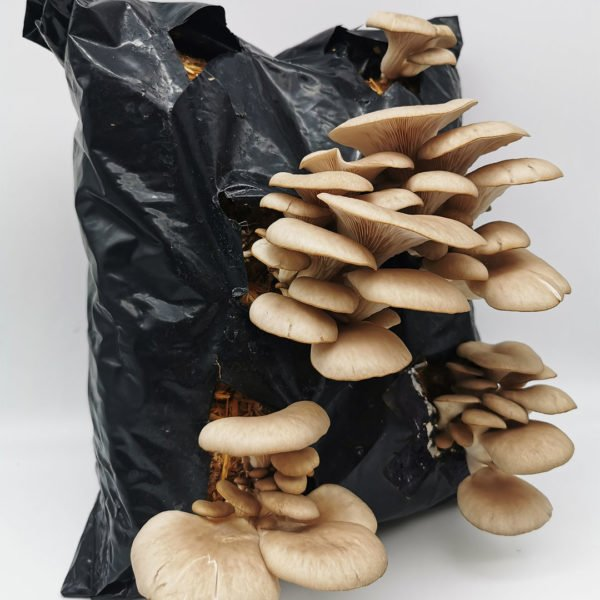 blue-grey-oyster-mushrooms-final-stage
