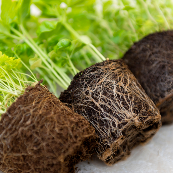 Roots of healthy herbs and plants