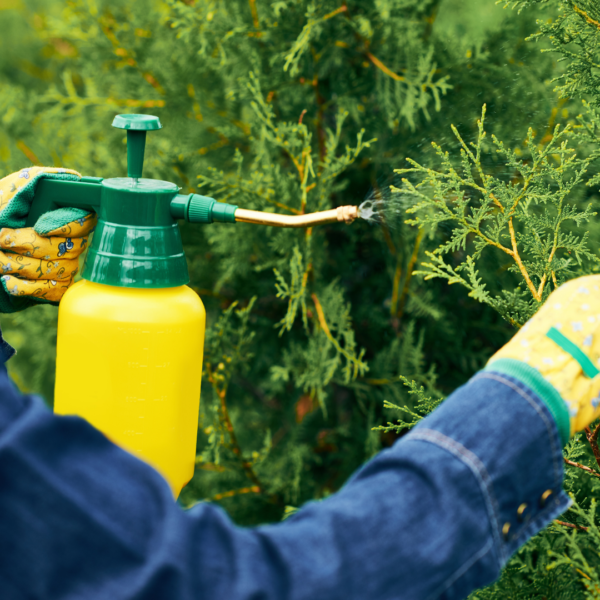 Person spraying conifers with pesticide